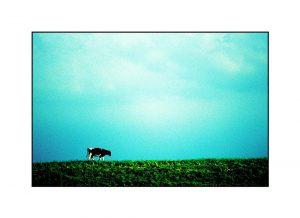 Niederrheinphoto-Kuh auf dem Deich