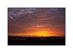 Gänse am Himmel in Grieth bei Sonnenaufgang